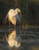 The Great Egret Royalty Free Stock Photo