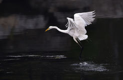 Great Egret Stock Photos