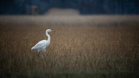 Great Egret on a field stock images