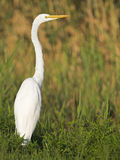 Great Egret  in field Royalty Free Stock Images