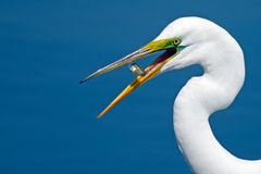 Great Egret With Fish Stock Images