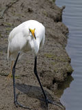 Great Egret With Fish Royalty Free Stock Photos