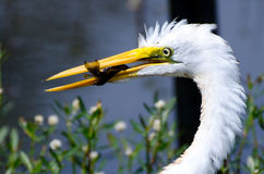 Great Egret with Fish. Great Egret feeding on fish on small pond in Monroe GA Stock Photos