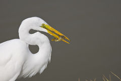 Great Egret with a fish in his beak. A Great Egret with a fish in his beak as he walks up the bank Stock Photos