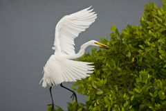 Great Egret with a fish for lunch. A Great Egret flying into a perch with a fish to eat for lunch Stock Photography
