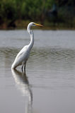 Great Egret Fishing Stock Images