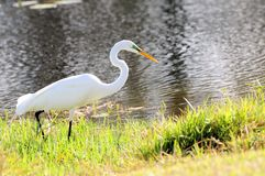 Great egret fishing Stock Photos