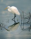 Great Egret Fishing royalty free stock images