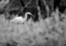 Great Egret Fishing. Black and White Great Egret fishing on pond in walton county georgia Royalty Free Stock Photos