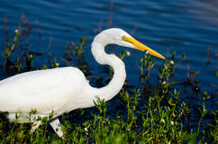 Great Egret Fishing. Great Egret catching fisth on small pond in Monroe GA Royalty Free Stock Photos