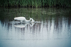 Great Egret Fishing. In the marsh Stock Image