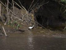 Great egret fishing in marsh Royalty Free Stock Photos