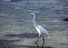 Great Egret fishing. Off the coast of California Stock Photos