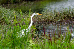 Great Egret Fishing. On pond in Walton County Georgia Royalty Free Stock Image