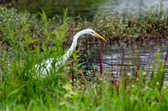 Great Egret Fishing. On pond in Walton County Georgia Stock Photography