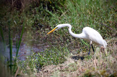 Great Egret Fishing on Pond, Walton County, Georgia. Great Egret, a white heron-like wading bird, spear fishing on pond in Monroe GA, Walton County Georgia Royalty Free Stock Image