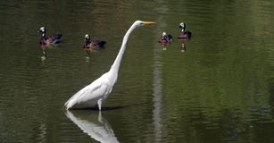 Great egret fishing in shallow lake Stock Images