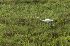 Great Egret fishing in shallows royalty free stock image