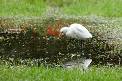 Great Egret fishing. A Great Silver Egret at fishing Royalty Free Stock Photography