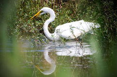 Great Egret Fishing, Walton County Georgia Stock Photography