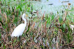 Great egret fishing in wetlands Royalty Free Stock Photos