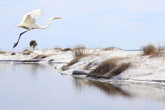 Free Great Egret Flies Over Tide Pool On White Sand Beach Royalty Free Stock Image - 37966026