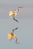 Great Egret flies at sunset with reflection Stock Photo