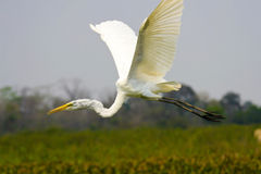 Great egret flight Stock Photos