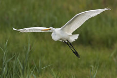 Great Egret Flight Royalty Free Stock Images