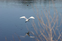 Great Egret in Flight. A great Egret is flying away Royalty Free Stock Photos