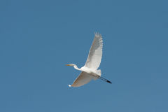 Great Egret in flight / Ardea alba Royalty Free Stock Photo