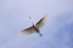 Great egret in flight Stock Photos