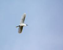 Great egret in flight Stock Image