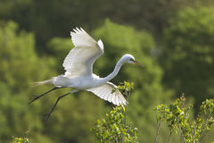 Great Egret in Flight at Breeding Colony Stock Photography