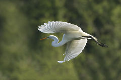 Great Egret in Flight at Breeding Colony Royalty Free Stock Photography