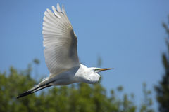 Great egret in flight at a central Florida swamp. Great egret, Ardea alba, flying in a blue sky in central Florida swamp, with trees in the background stock photos
