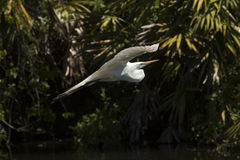 Great egret in flight at a central Florida swamp. Great egret, Ardea alba, flying in a central Florida swamp, with palmettos in the background royalty free stock photos