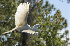 Great egret in flight at a central Florida swamp. Great egret, Ardea alba, flying in a central Florida swamp, with trees the background royalty free stock photos