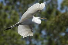 Great egret in flight at a central Florida swamp. Great egret, Ardea alba, flying in a central Florida swamp, with trees in the background stock images
