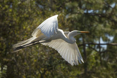 Great egret in flight at a central Florida swamp. Great egret, Ardea alba, flying in a central Florida swamp, with trees and shrubs in the background royalty free stock photo