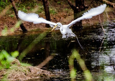 Great Egret in Flight. Great Egret fishing on pond in walton county georgia Stock Image