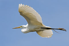 Great Egret in Flight Royalty Free Stock Images