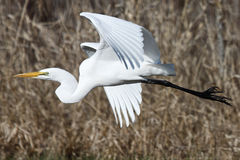 A Great Egret in flight. A great egret flying to a new destination Stock Photos