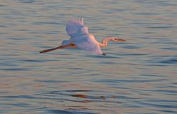 Great Egret in Flight Stock Images