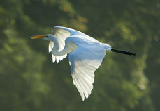 Great Egret In Flight On Green Stock Photo