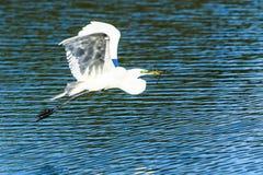 Great Egret in Flight Stock Image