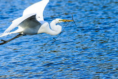 Great Egret in Flight Royalty Free Stock Photography