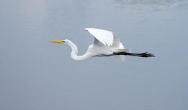 The Great Egret in Flight Royalty Free Stock Photos