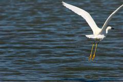 Great Egret in Flight. Royalty Free Stock Photography