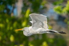 Great Egret in flight Stock Photography